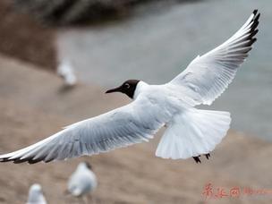 栈桥边鸽子和海鸥抢饭碗 悠闲踱步找食物