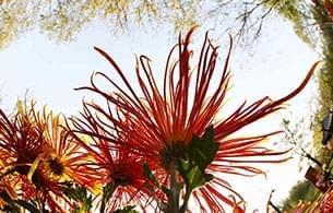 我就是清明上河园盛开的一朵菊花