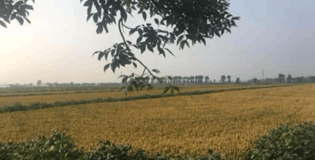 盘锦大米上央视新闻 农民丰收季入70万