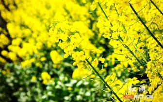 湘潭县白沙洲百亩油菜花春日绽放 宛若金色地毯