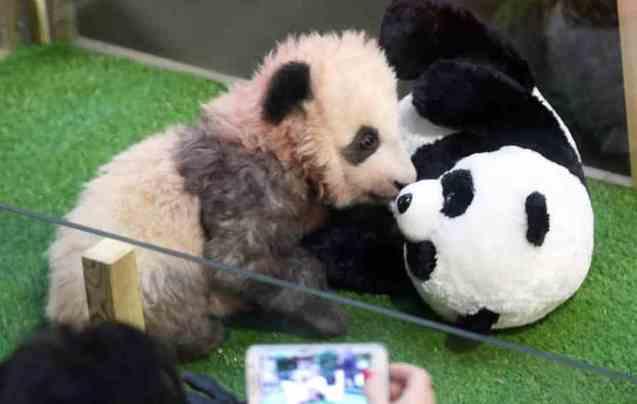 """法国熊猫幼崽""""露面"""""""
