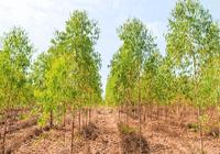 我国桉树产业年产木材量超三千万立方米