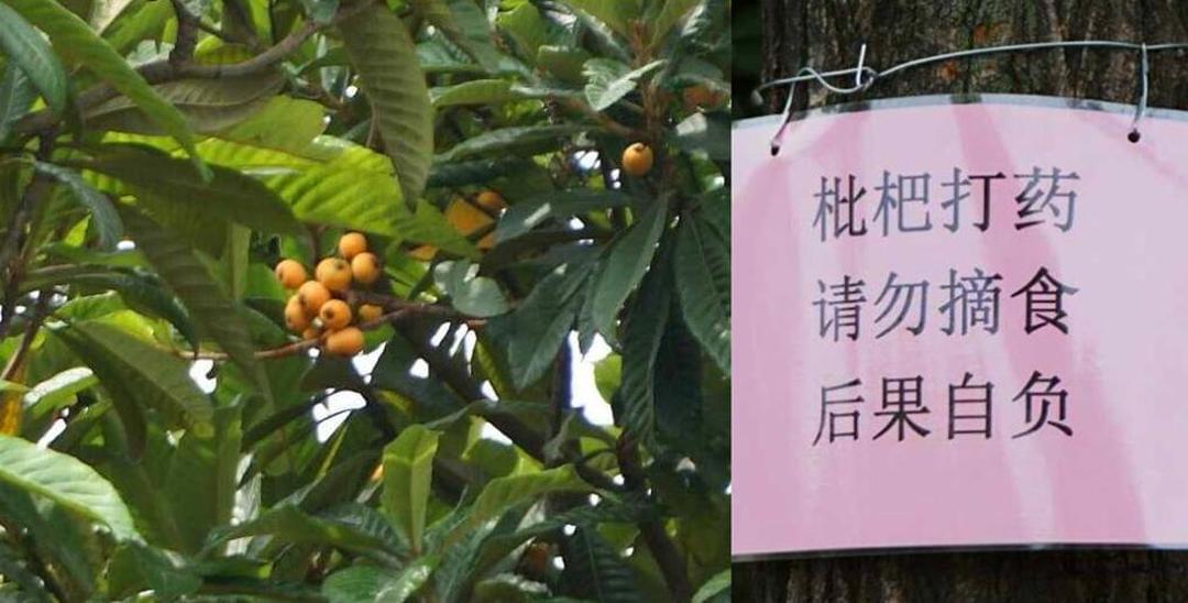 公园内枇杷果成熟:听说打了药 无人敢摘了