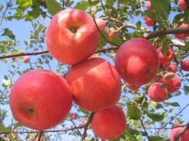 小苹果如何长成大产业——运城发展苹果产业见闻
