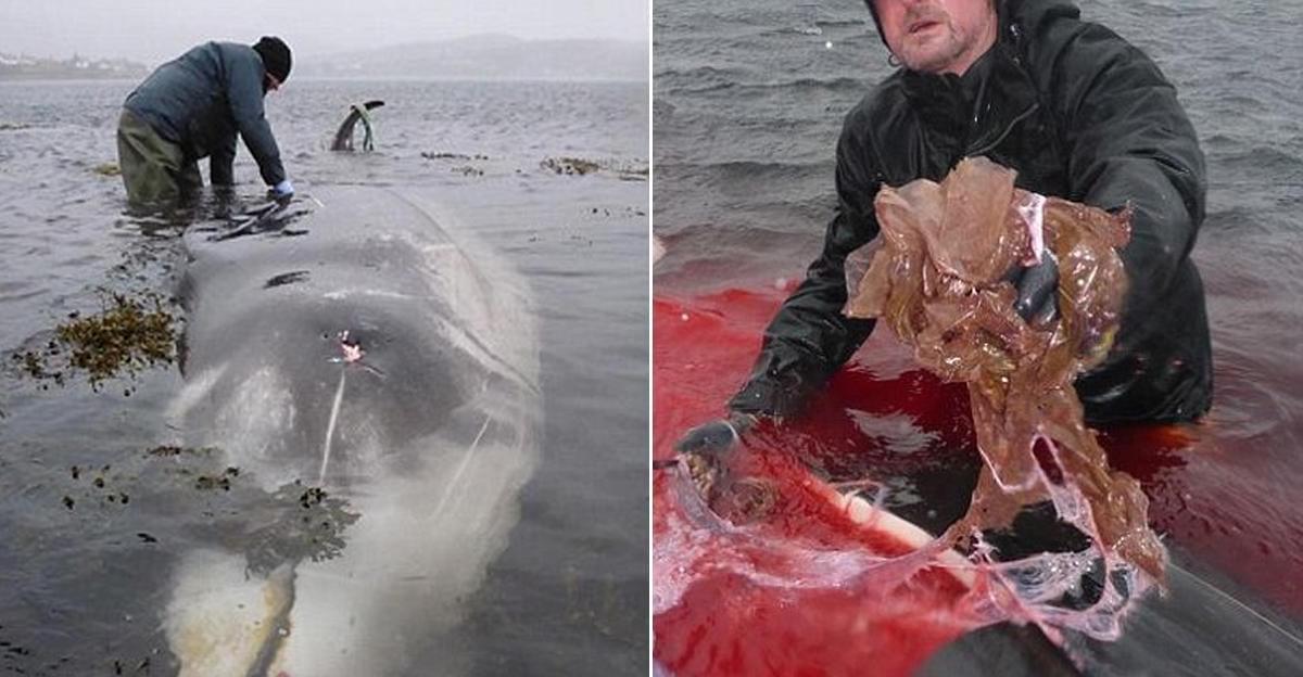 鲸鱼尸体被冲上海滩 胃里含8斤塑料袋