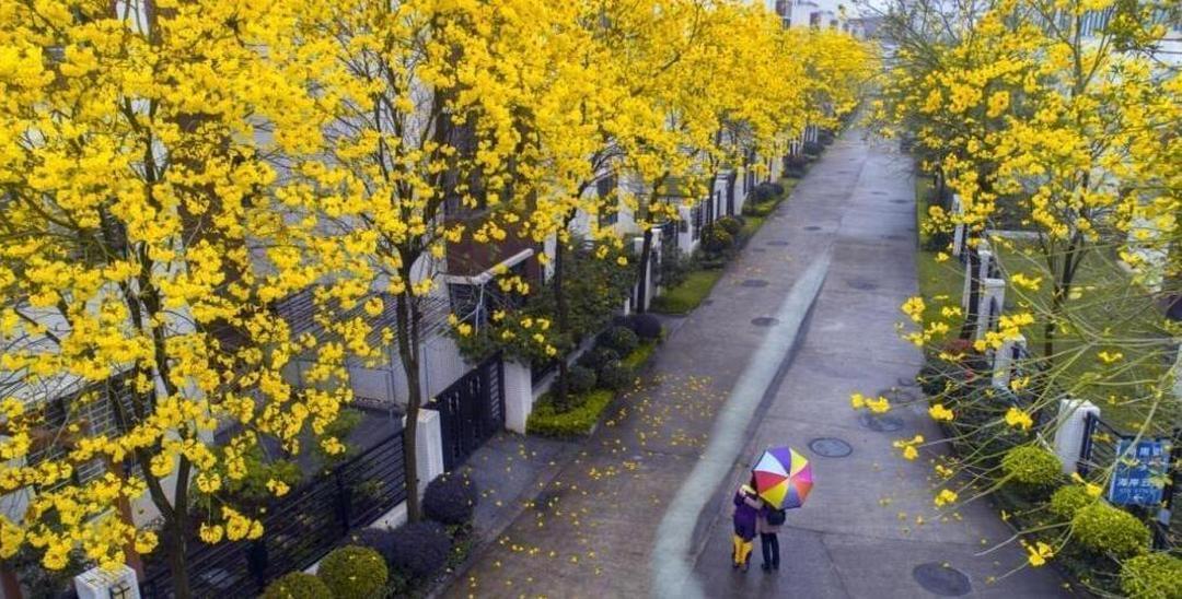 广东竟有巴西国花黄花风铃灿烂盛开!不要错过了