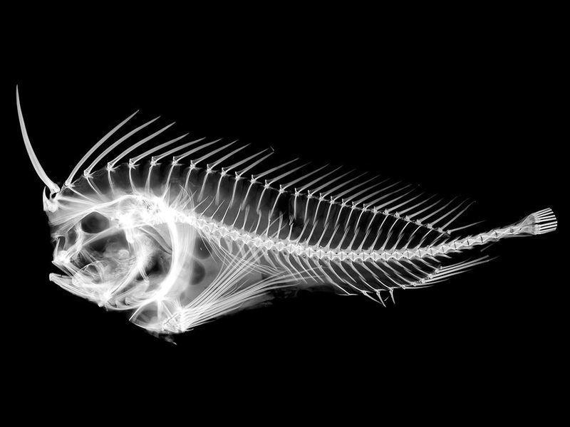 鱼界防御高手:有毒又长眼刺,谁吞谁倒霉?