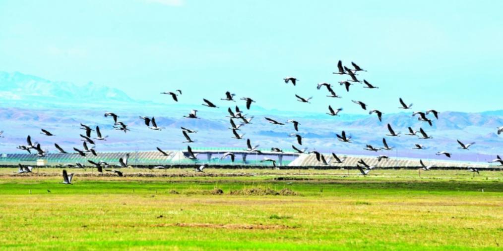 生态保护见成效 草原再现北归候鸟