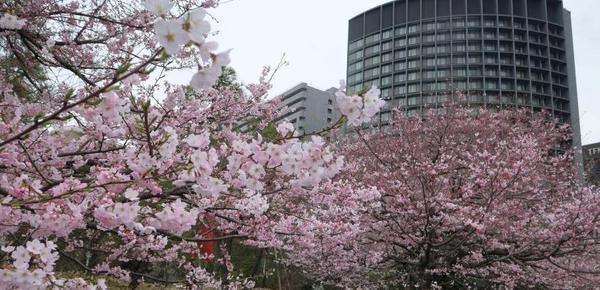 日本东京进入樱花季 游人徜徉花海