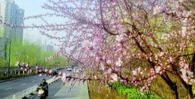 滨河东路南沙河的梅花开了 全靠独特小气候