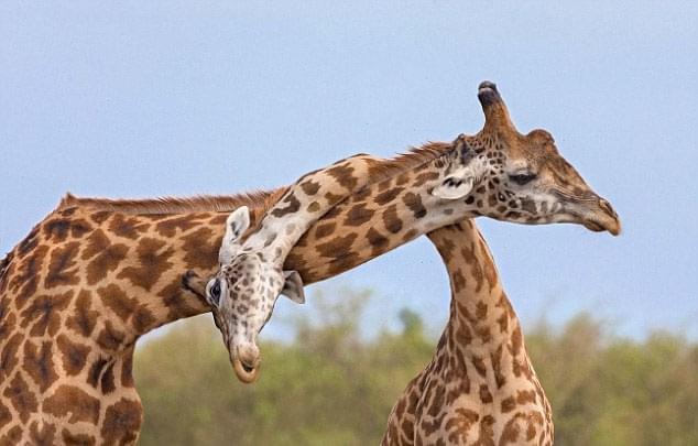话说非洲长颈鹿打起架来用什么?当然是脖子啦~