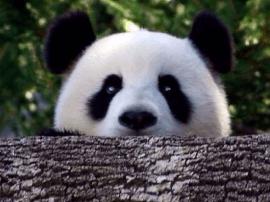 中国首次完成熊猫野外引种试验 交配时长1分30秒
