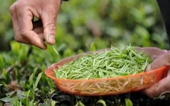 """福建出台""""茶八条"""" 助力茶产值率先迈向千亿目标"""