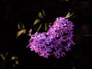 丁香:寓意吉祥幸福美好的大同市花