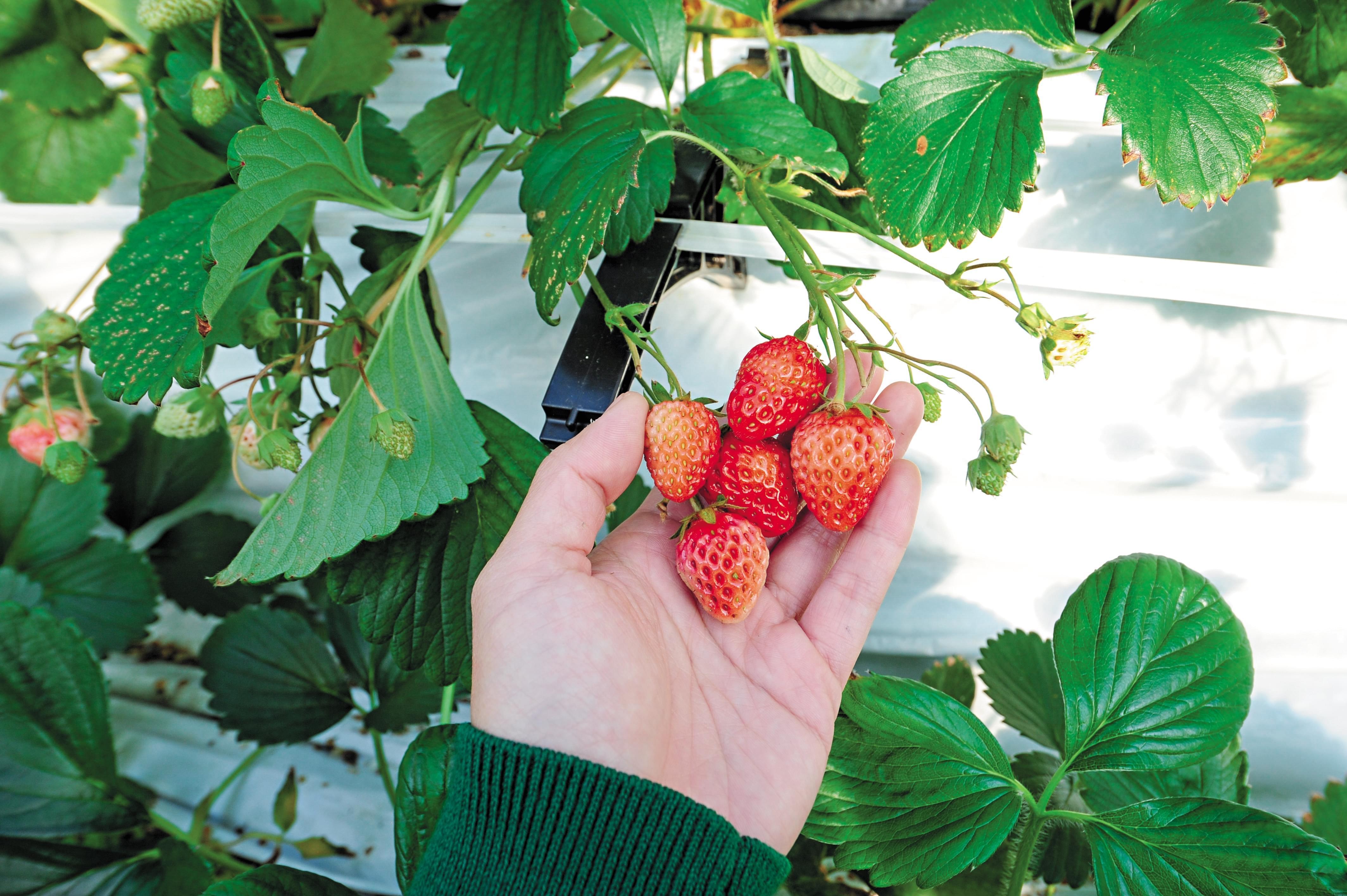 2016年3月,日本福岛磐城观光草莓园,不限时采摘草莓。/视觉中国