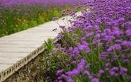 兴化千垛花海换装 马鞭草绘就紫色画卷