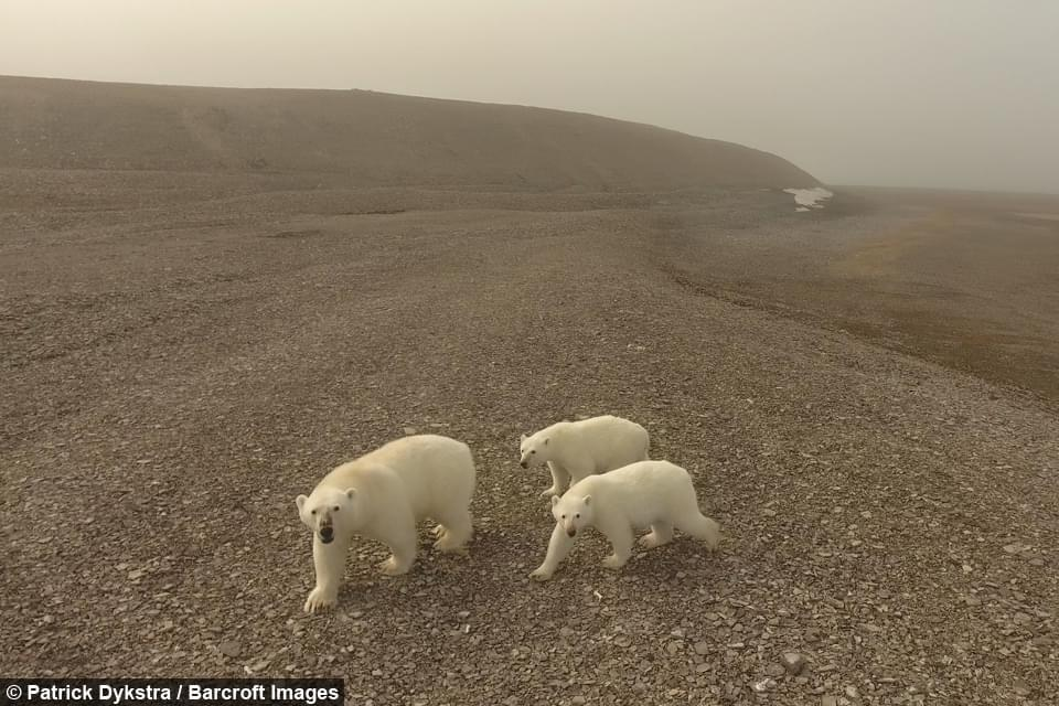 站立伸爪 北极熊爱上无人机玩自拍