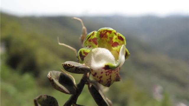 珍稀兰科植物中华盆距兰现身四明山崖壁