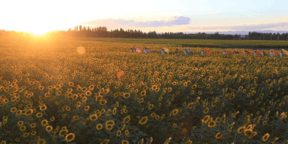新疆克拉玛依3000亩观赏向日葵璀璨绽放