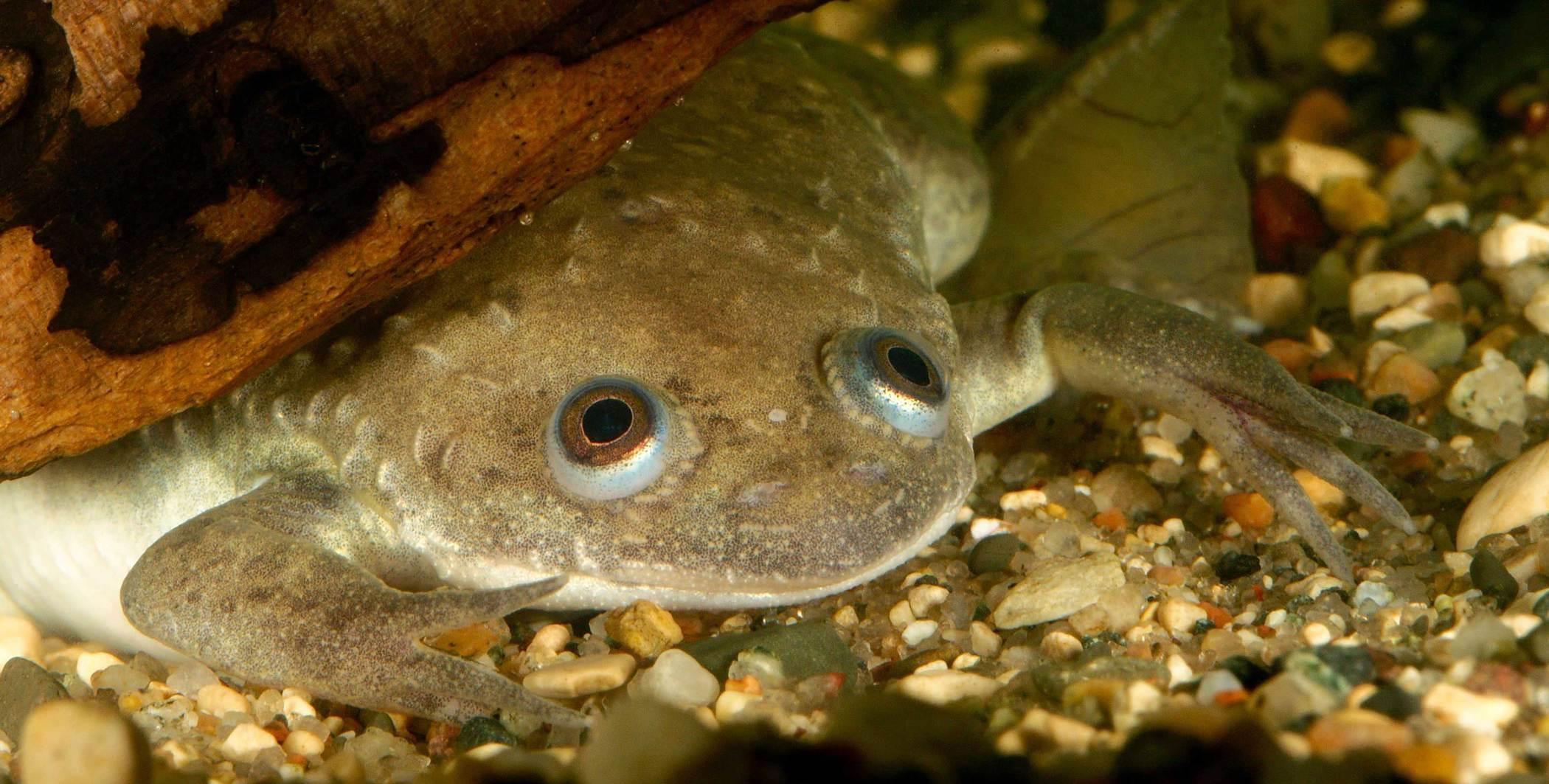在验孕这件事上,青蛙曾比妇科专家更准确