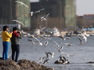 大批海鸥栈桥起舞 吸引游客观赏投喂