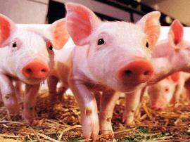 把猪器官移植人体靠谱 美猪肉生产巨头正研究这