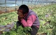 菜农痛心砍掉上千吨蔬菜