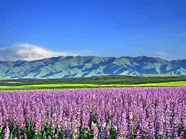 首届香紫苏节开幕 打造全域旅游品牌