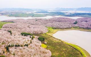 贵安樱花园 中国集中连片种植面积最大