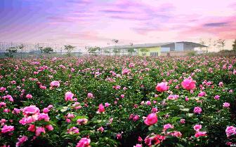 【周末去哪】五一去省植物园看比脸还大的玫瑰花!