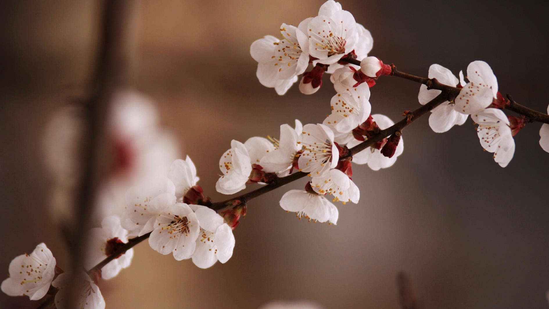 伊宁县:杏乡在杏花中苏醒