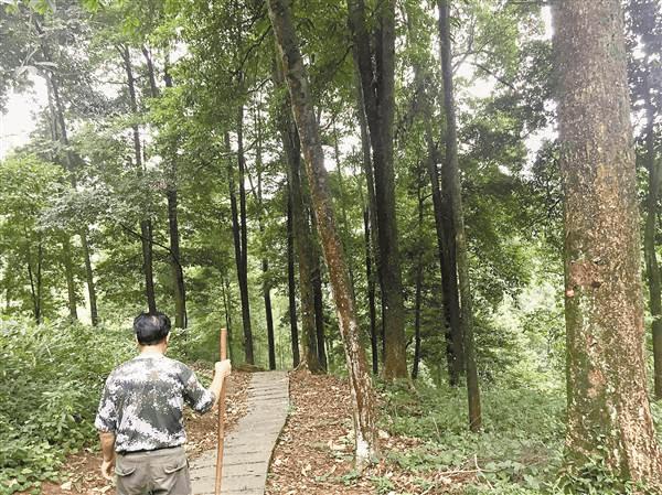 永川发现全国面积最大金丝楠木天然林