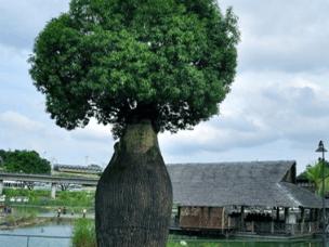 储水量最大的树 一棵树能储存2吨水