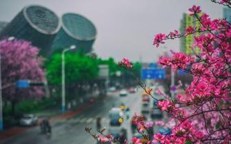 花开花落又一季 柳州每条街道都开满紫荆花