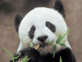 """突破次元!国宝熊猫""""巴斯""""动漫形象设计大赛"""