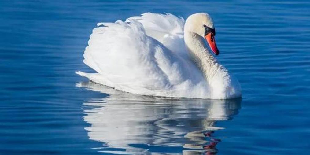 伊犁河谷有仙客 百余天鹅舞翩跹
