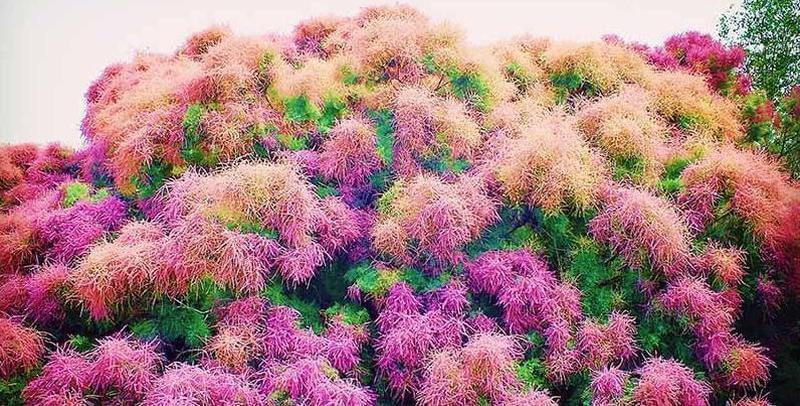 新疆博斯腾湖红柳花开 展湿地醉美画卷