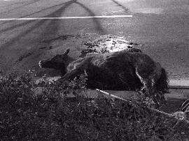 滨河东路上 一匹小马和一辆轿车相撞