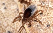 吸血鬼蜱虫:能传播各种病