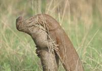 奇妙:印度两巨蜥站立打架似人类摔跤