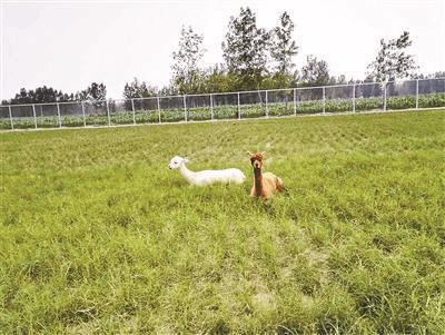 河南一学校花百万自建动物园 买羊驼等大型动物