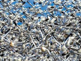 数千只雪雁起飞觅食 浩浩荡荡十分壮观