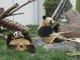 视频:网易独家探访大熊猫在保定的安逸生活