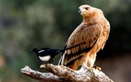 鹰和喜鹊也可以相安无事