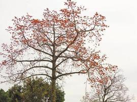 美得惊人!新会300年老树开花啦!