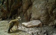 红外相机在阿尼玛卿山记录多种野生动物影像