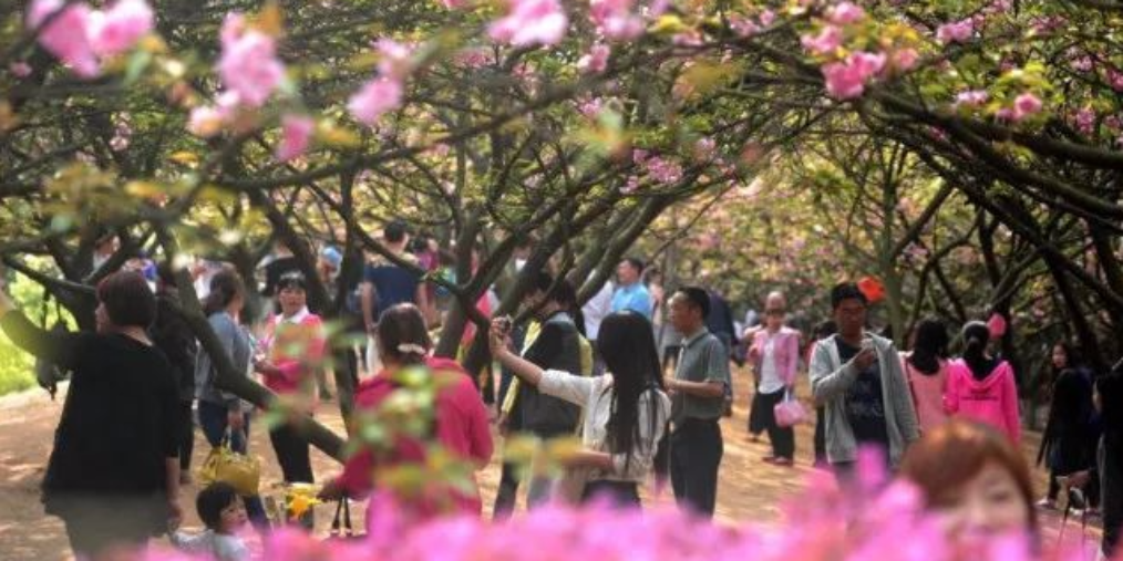 2018年湖南省樱花观赏指南!每一个地方都美到心碎