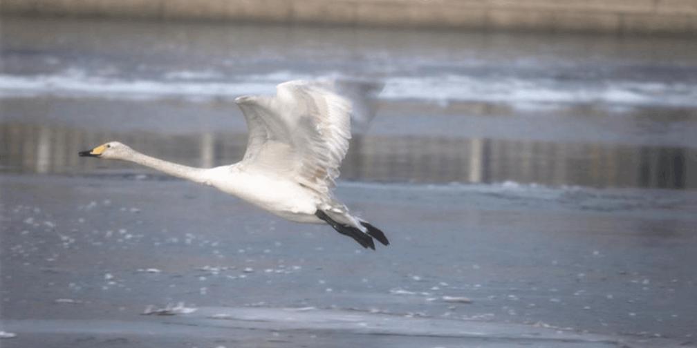 库尔勒市:天鹅冰上起舞引市民围观