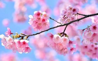 重庆私藏的这些花海胜地 在春天里等你来偶遇