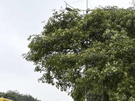 是香还是臭?东莞这种奇怪的树又开花了